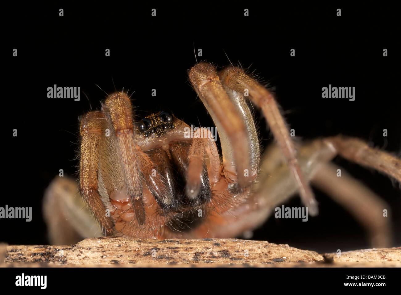 Wolf Spider Lycosidae - Stock Image