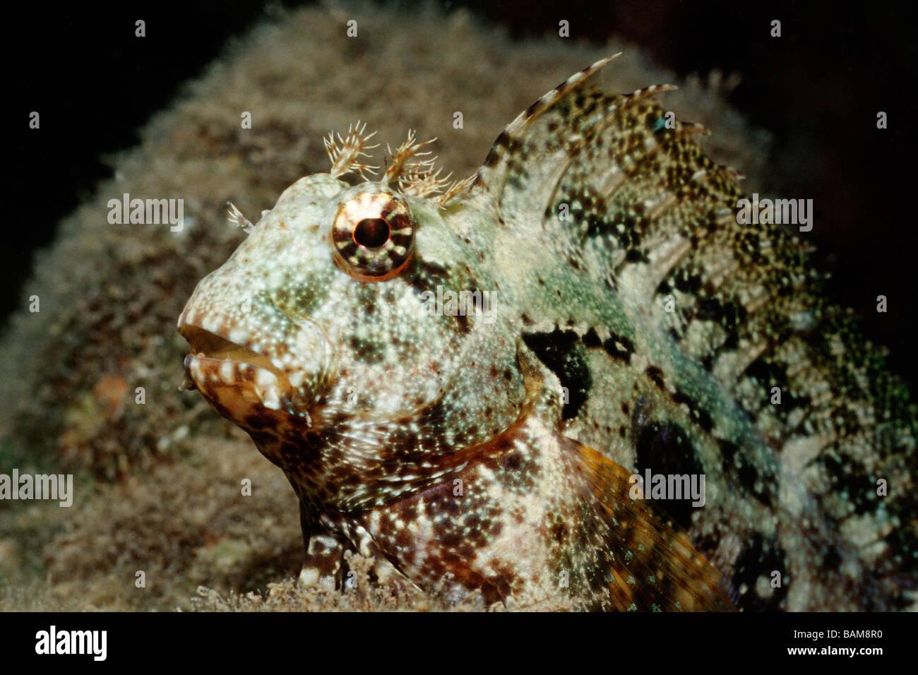 Ceram Blenny Salarias ceramensis Pacific Micronesia Palau Stock Photo