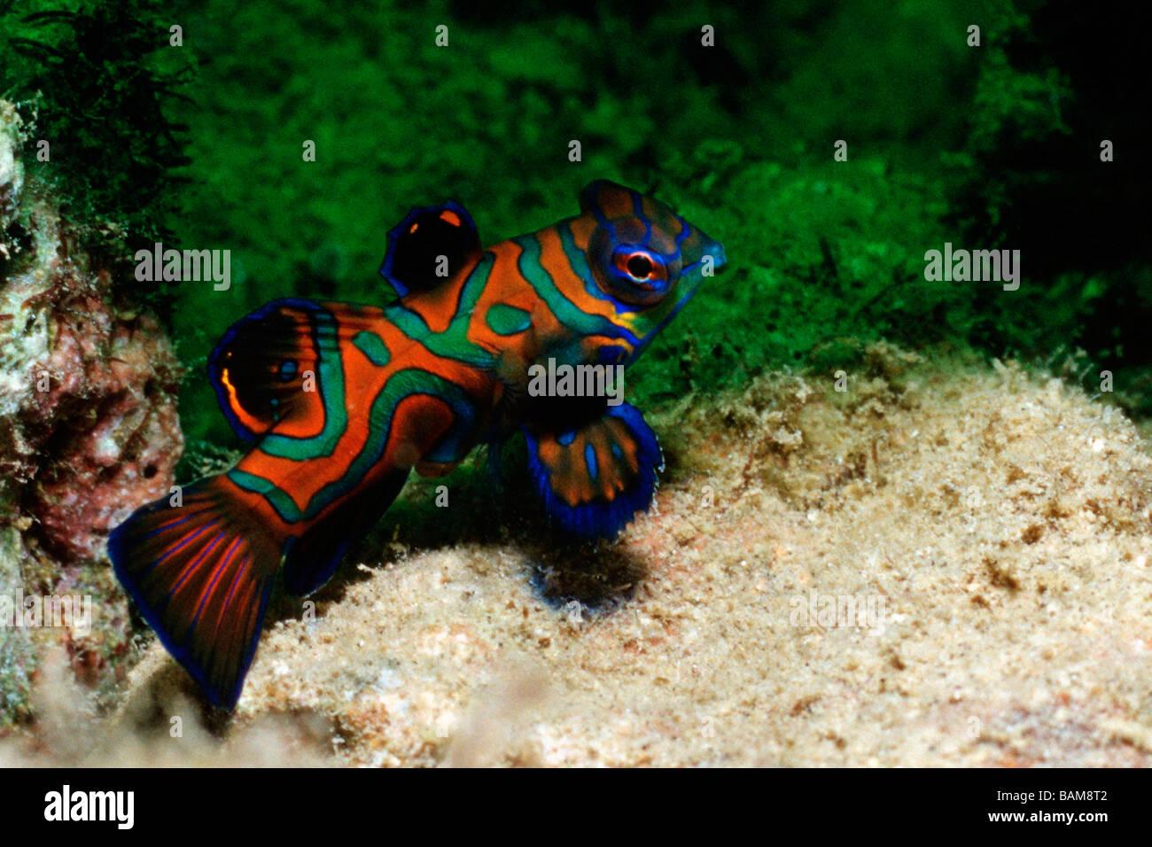 Mandarinfish Synchiropus splendidus Pacific Micronesia Palau - Stock Image