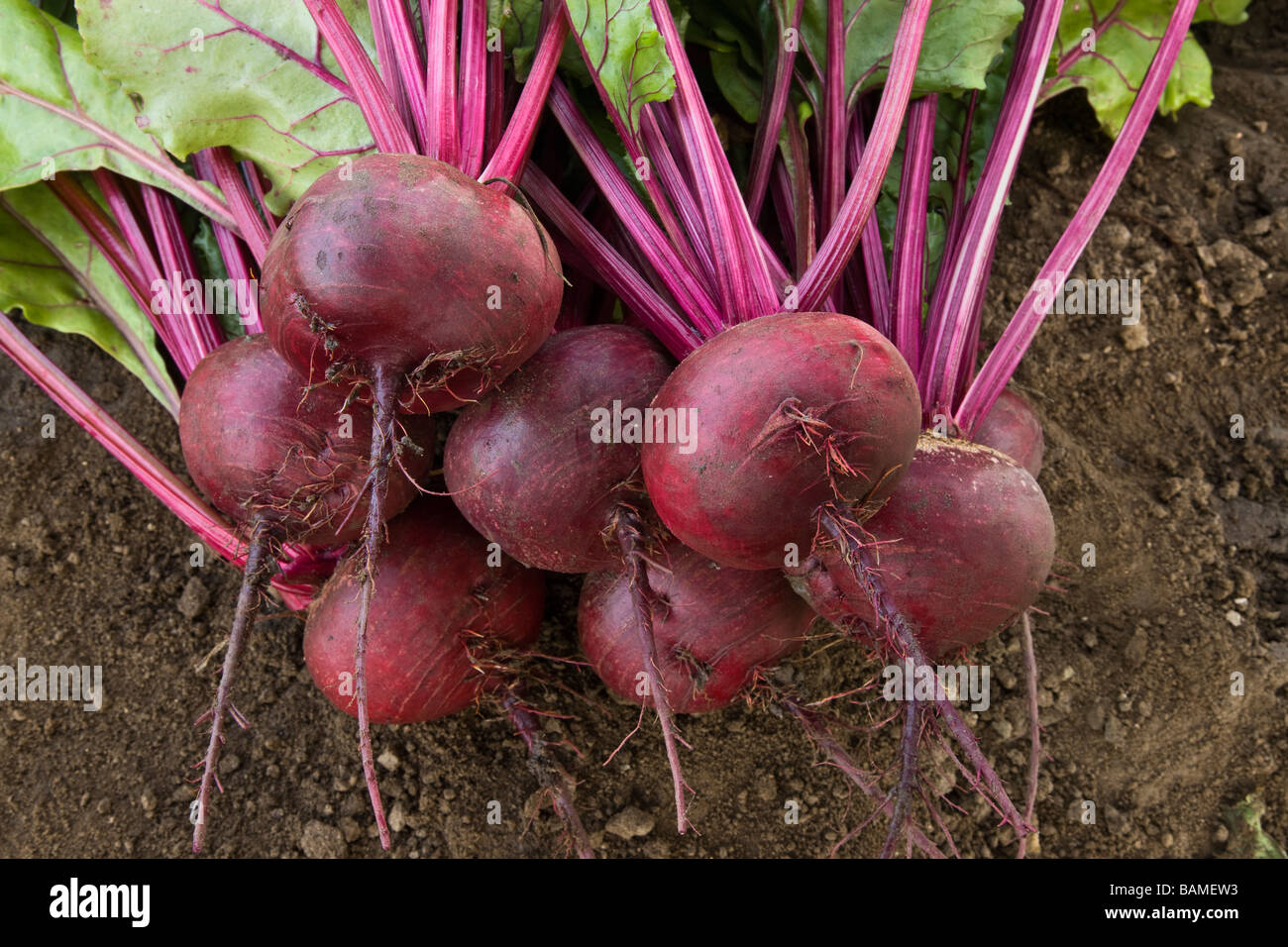 Harvested  'Organic'  Beets. - Stock Image
