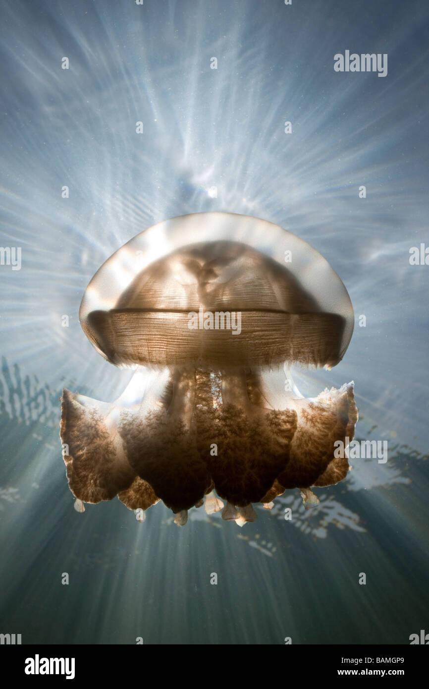 Mastigias Jellyfish in Backlight Mastigias papua etpisonii Jellyfish Lake Micronesia Palau Stock Photo