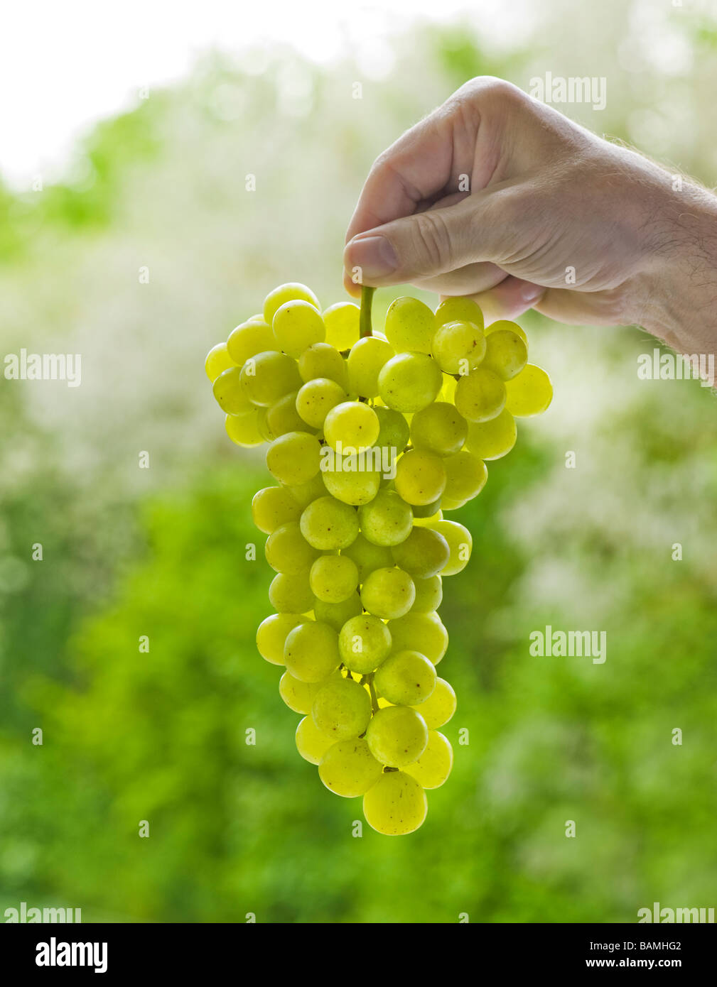 bunches of grapes hand hold holding man present presenting garden green background  quality seedless table grape - Stock Image
