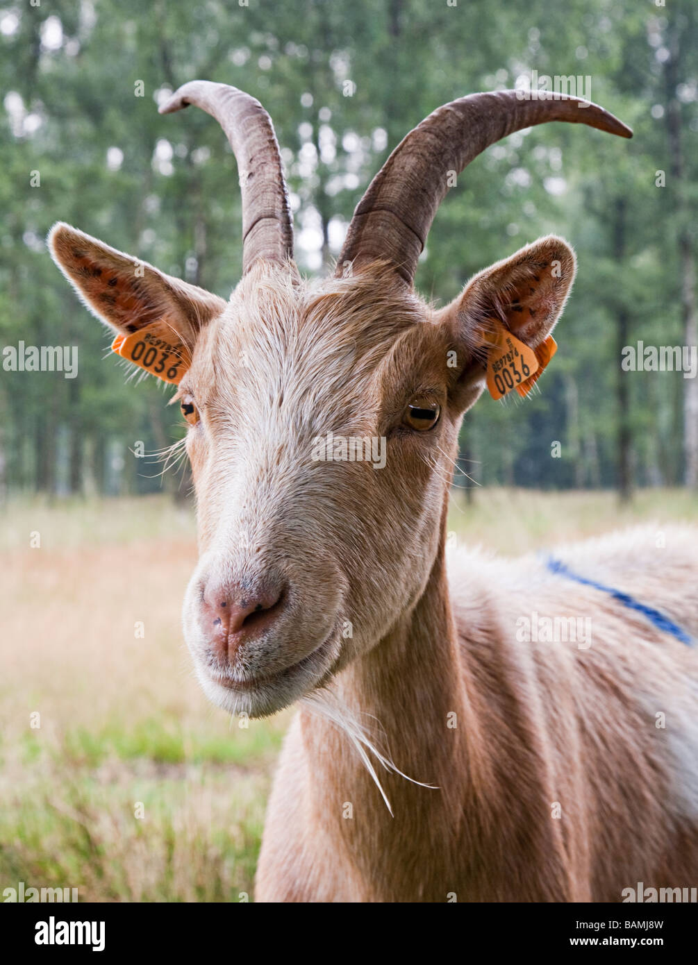 Goat with tags in ears Kalmthoutse Heide nature reserve Kalmthout Belgium - Stock Image