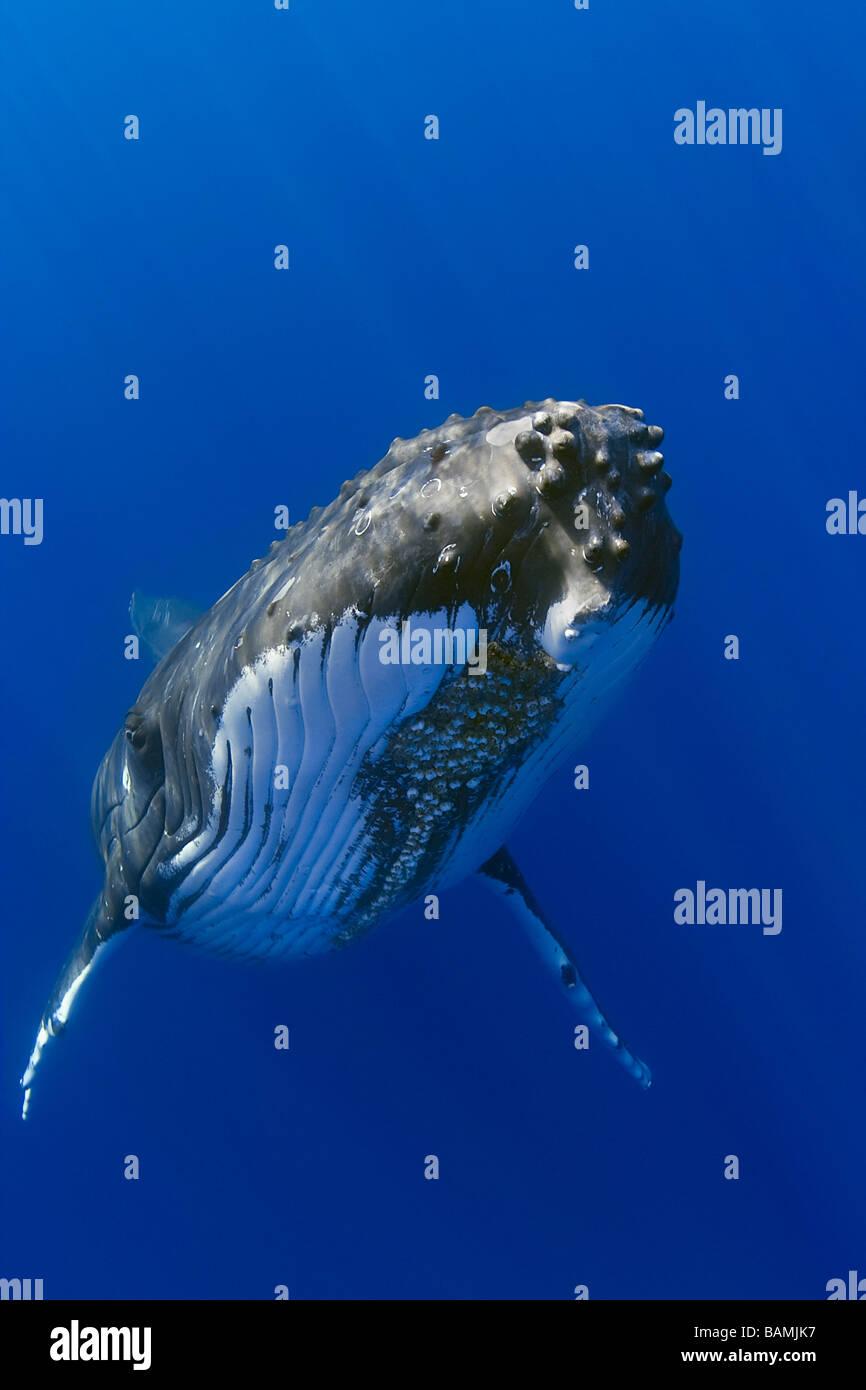 Humpback Whale, Megaptera novaeangliae Stock Photo