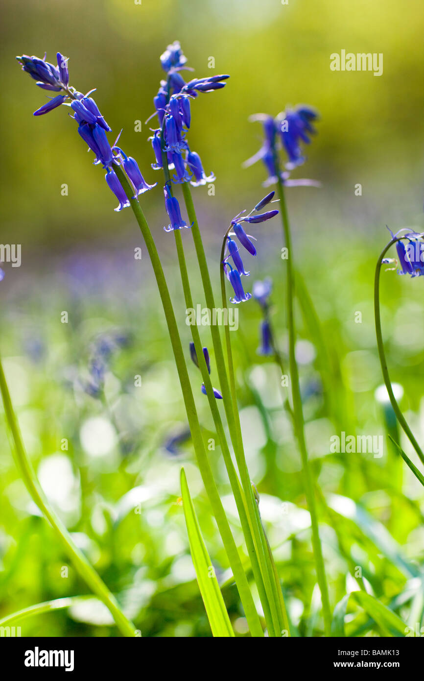 Common Bluebell ( Hyacinthoides non-scripta ) Stock Photo