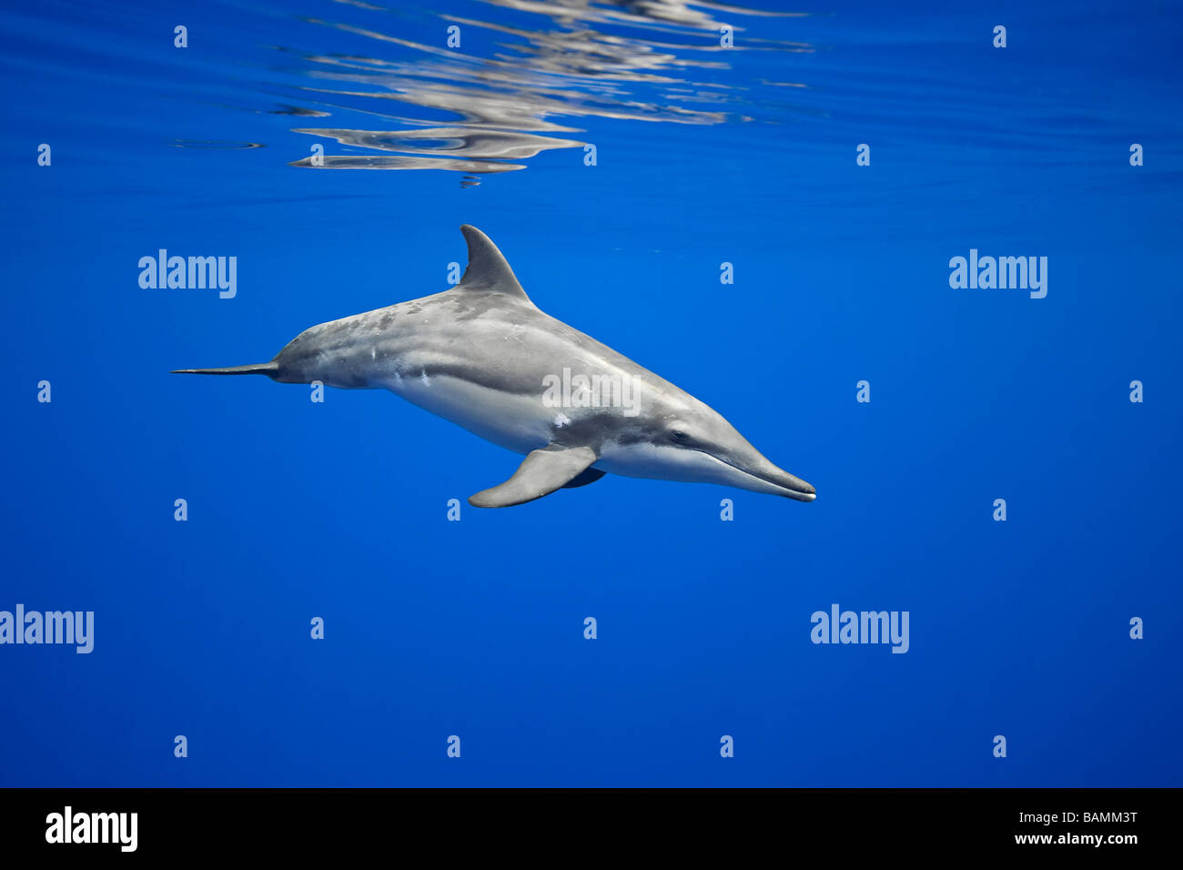 Rough-toothed Dolphin, Steno bredanensis, - Stock Image