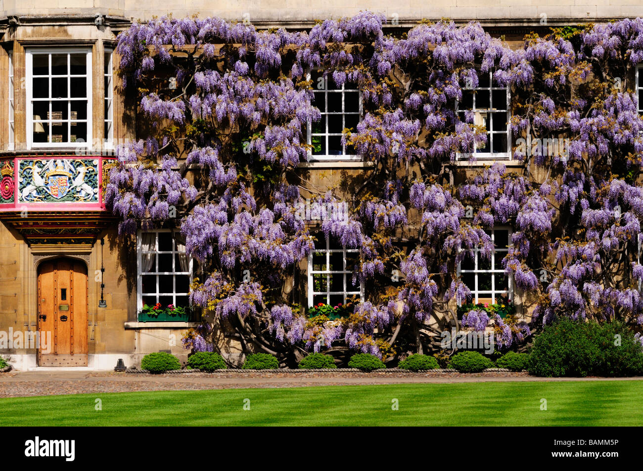 Wisteria at Christs College, Cambridge, England, Uk - Stock Image