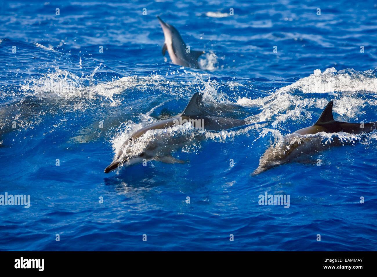 Hawaiian Spinner Dolphin Wave-riding - Stock Image
