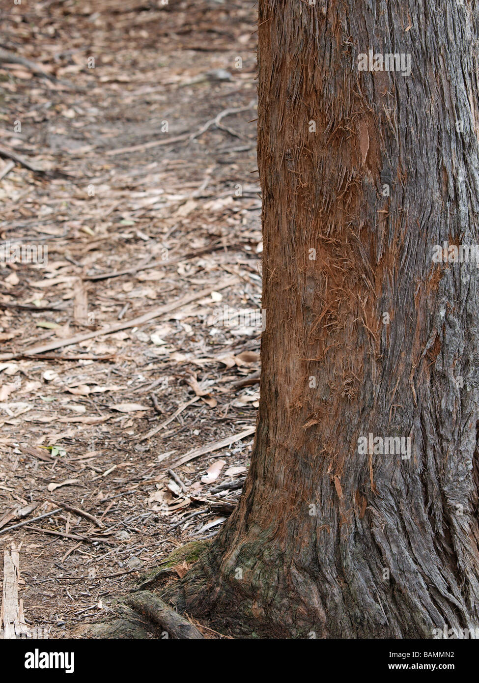 trunk of tree with animal scratch marks stock photo  23812238