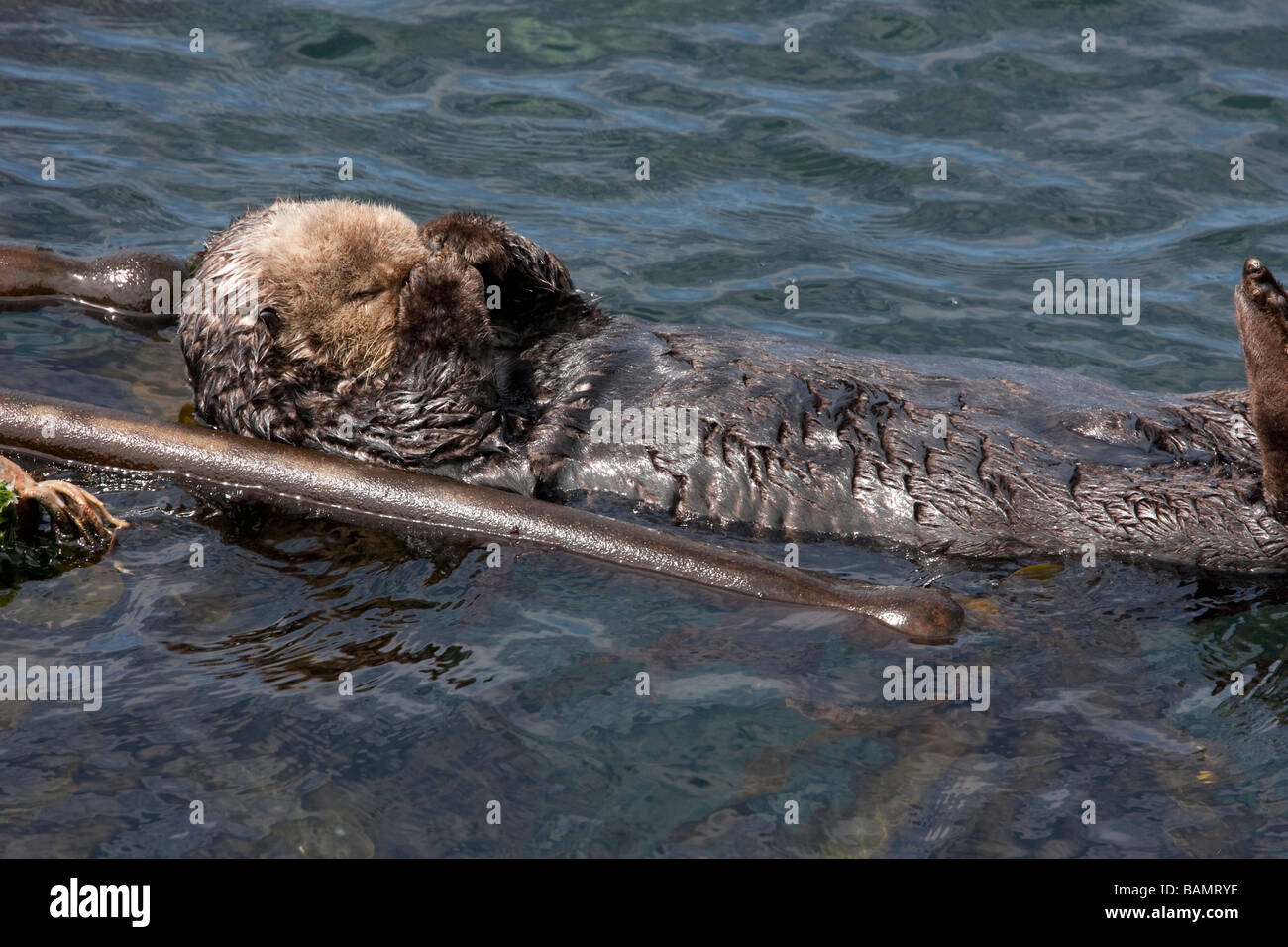 Sea otter in Point Lobos State Reserve, California, USA - Stock Image