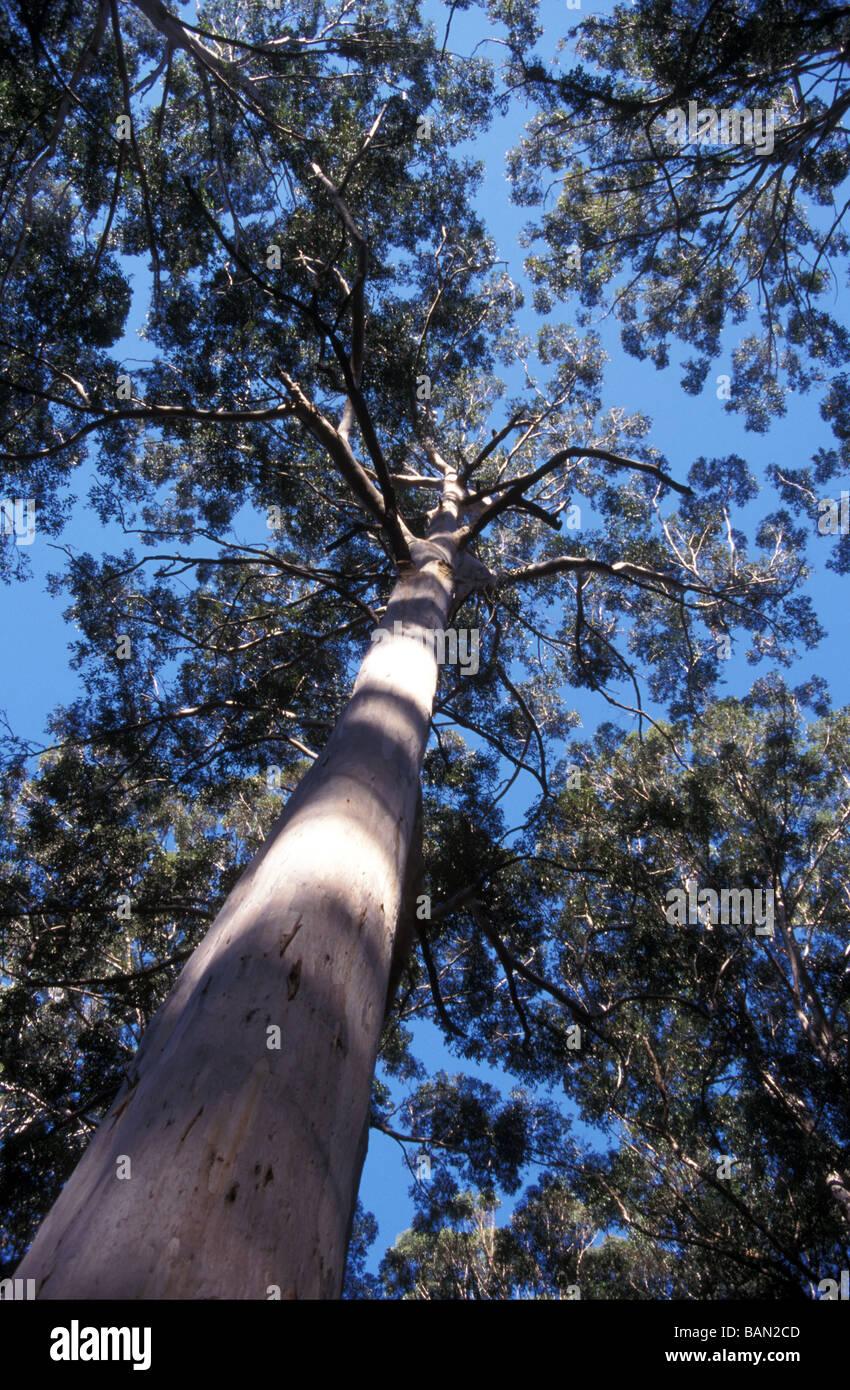 eucalyptus forest Western Australia - Stock Image