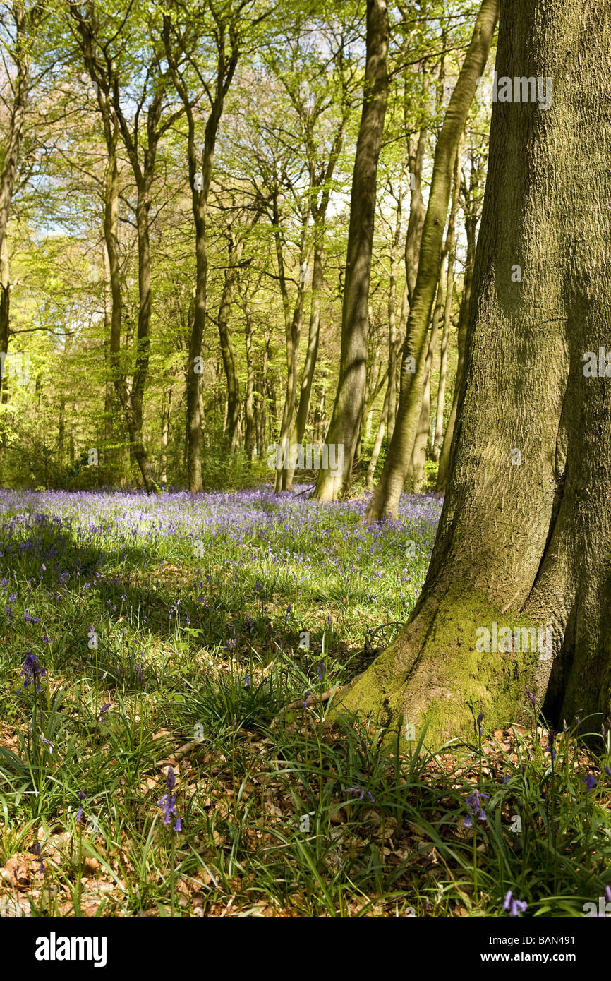 bluebells in woodland - Stock Image