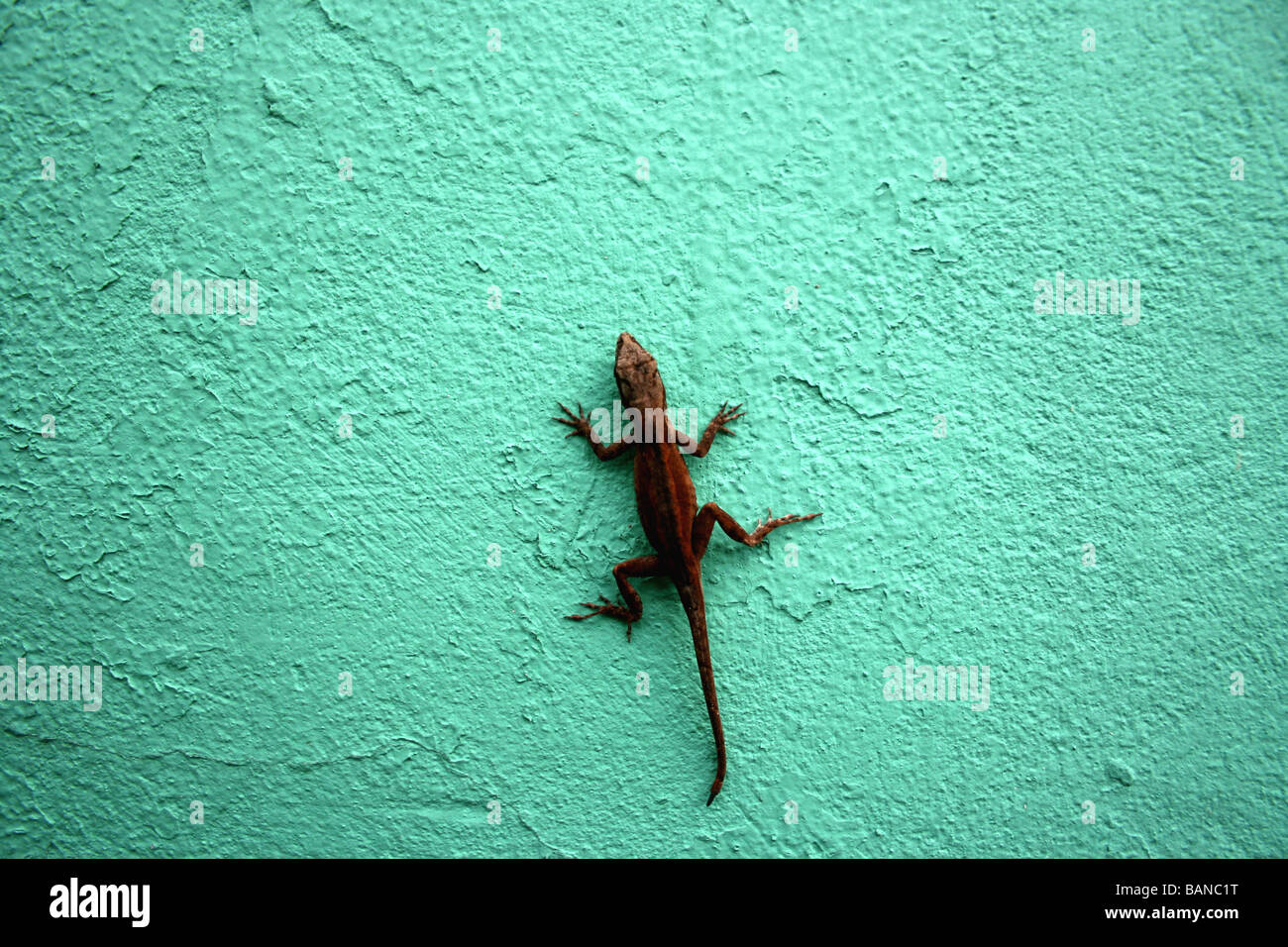 house gecko on green wall - Stock Image