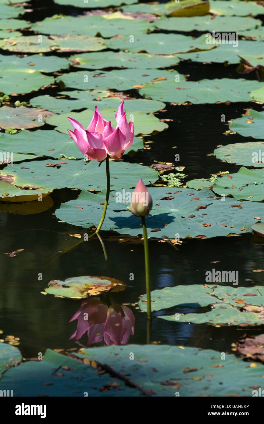 Lotus Flowers Grow In A Water Garden At The Saigon Zoo And Botanical