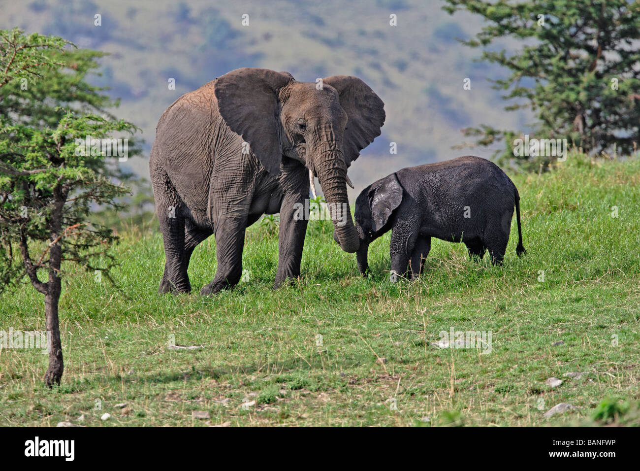 Adult female african elephant with young browsing on the green grasses of the Serengeti National Park, Tanzania - Stock Image