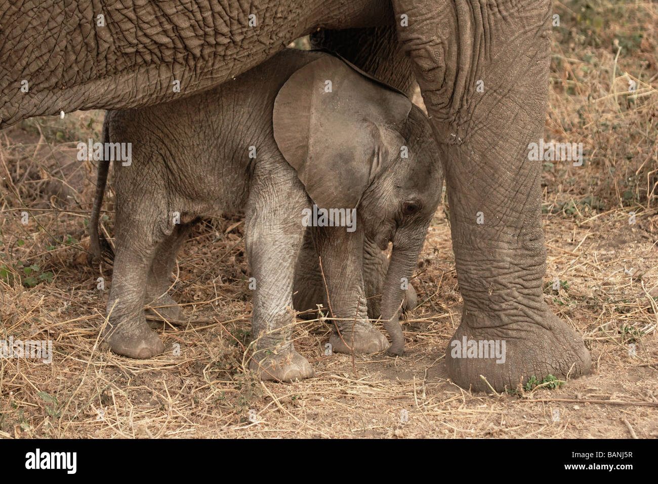 New born elephant calf with mother, baby is approximately only a few hours old, Lake Manyara National Park, Tanzania. Stock Photo