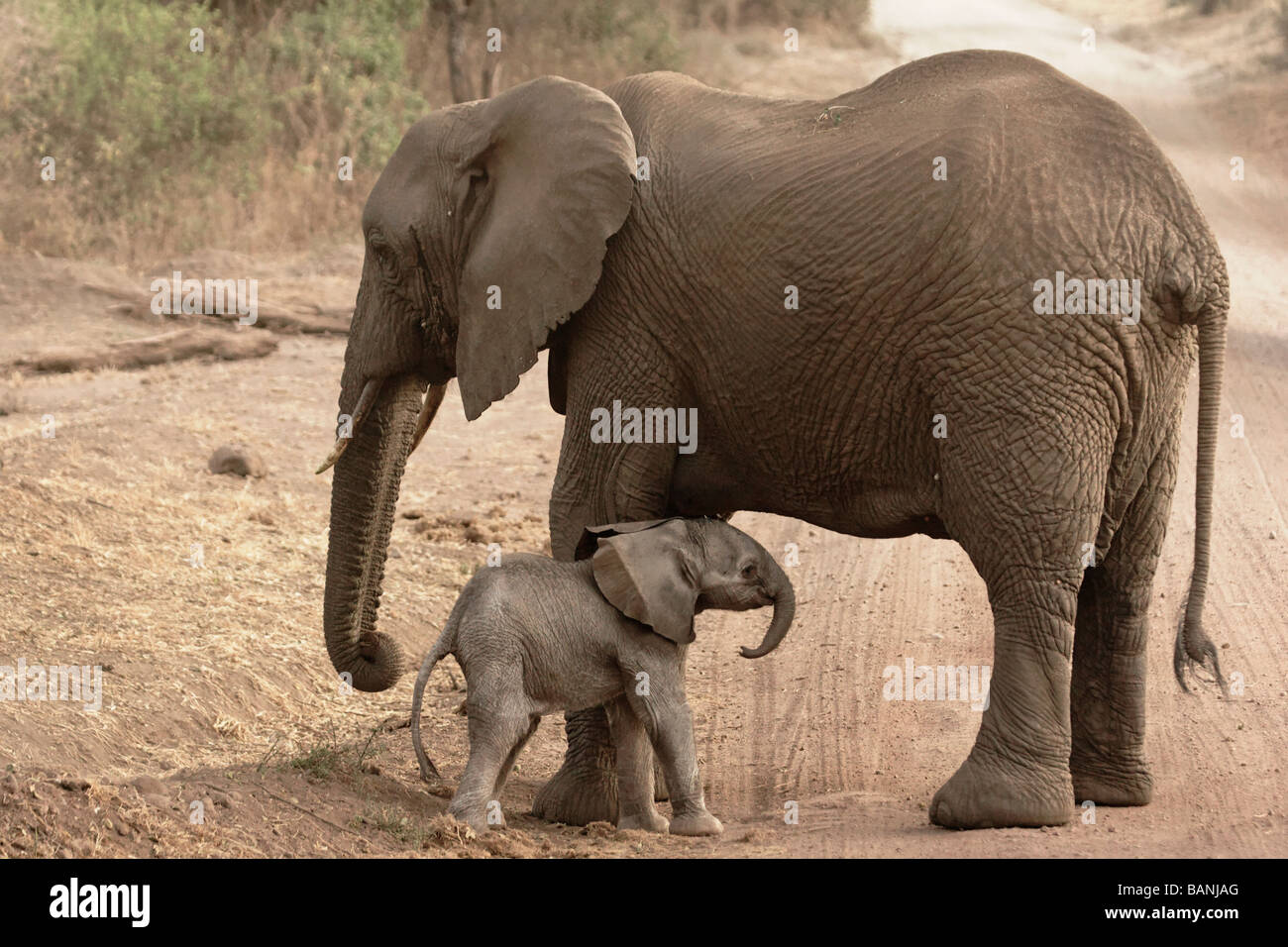 New born elephant calf with mother, baby is approximately only a few hours old, Lake Manyara National Park, Tanzania. - Stock Image