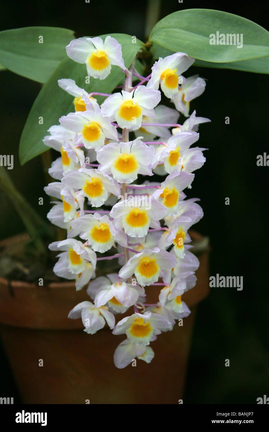 Orchid species, Orchidaceae - Stock Image