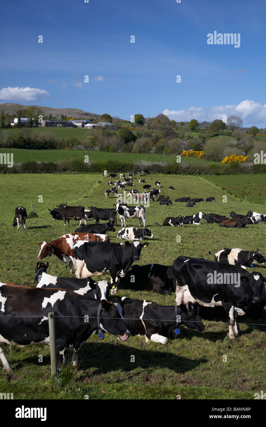 herd of tagged managed cows cattle in a field in county tyrone northern ireland uk europe Stock Photo