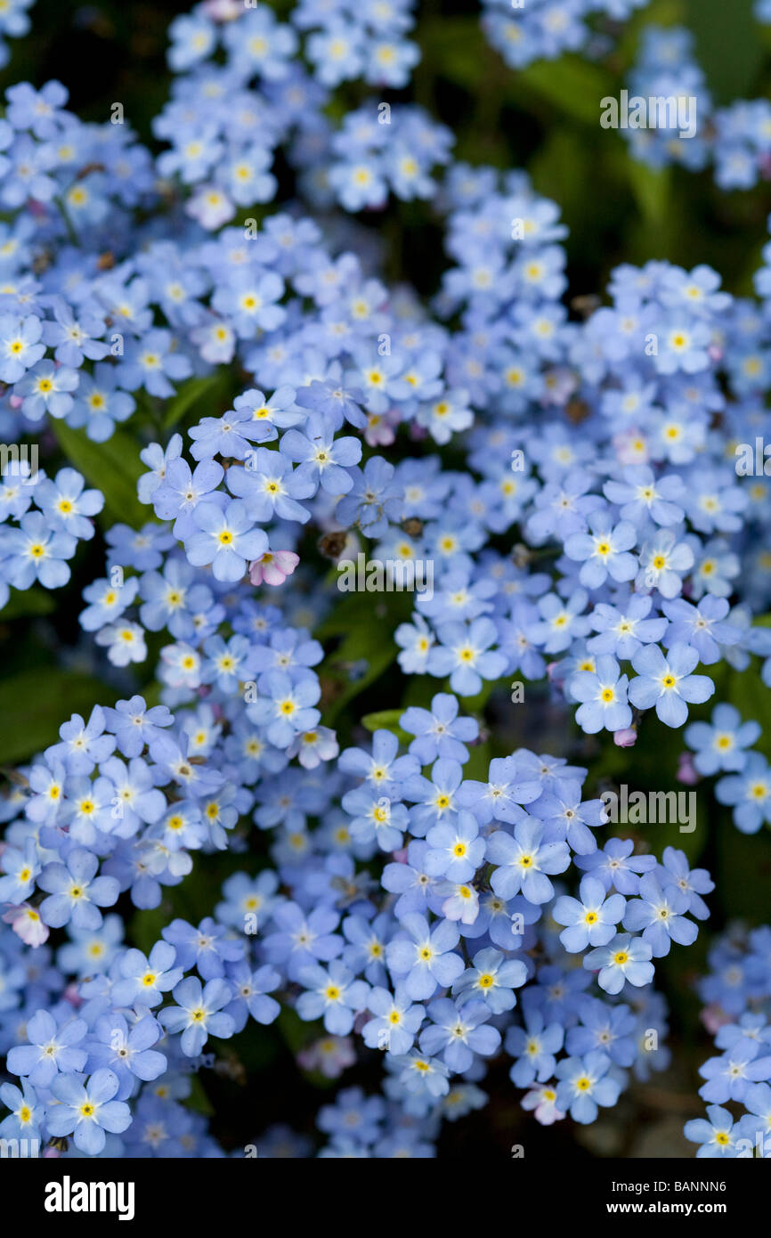 Victoria, British Columbia, Canada; Blooming blue flowers Stock ...