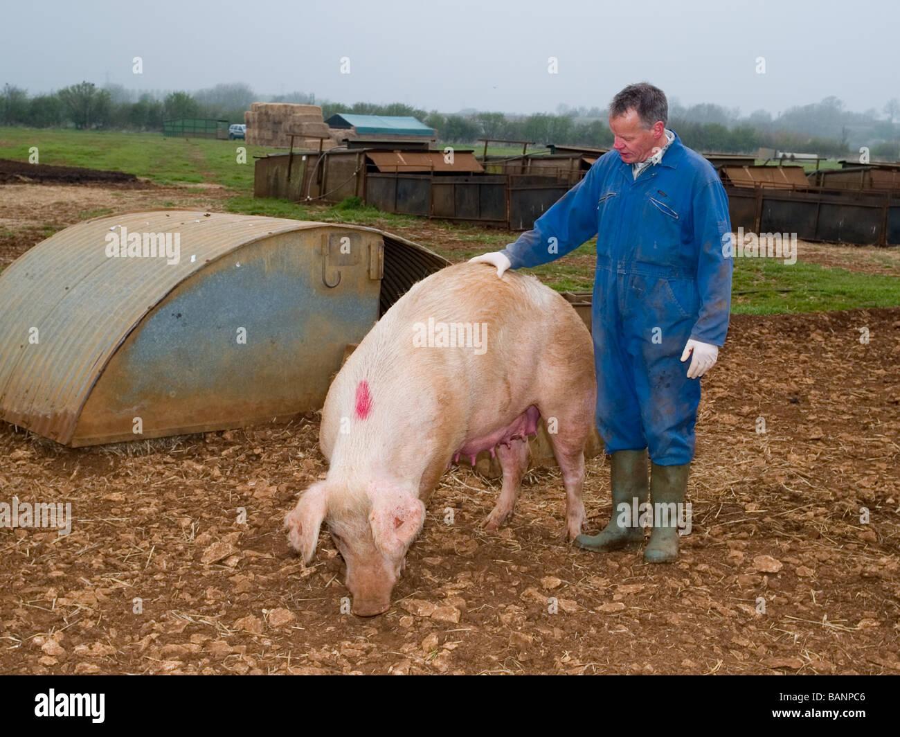 pig suckling sow large white landrace duroc stock photo 23835510
