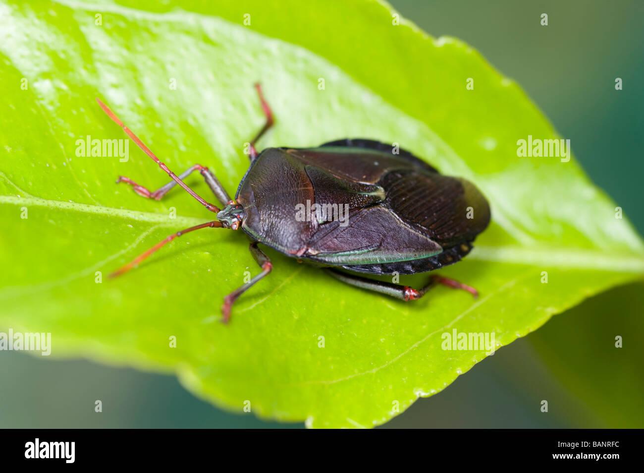 The bronze orange bug is a pest of citrus in Australia - Stock Image