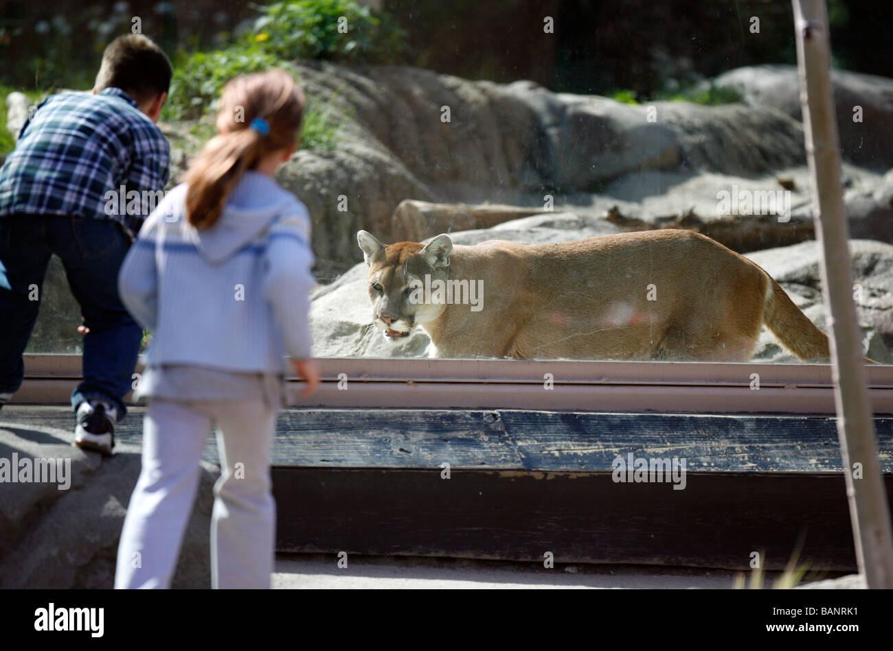 Cougar Stone Zoo Massachusetts Stock Image