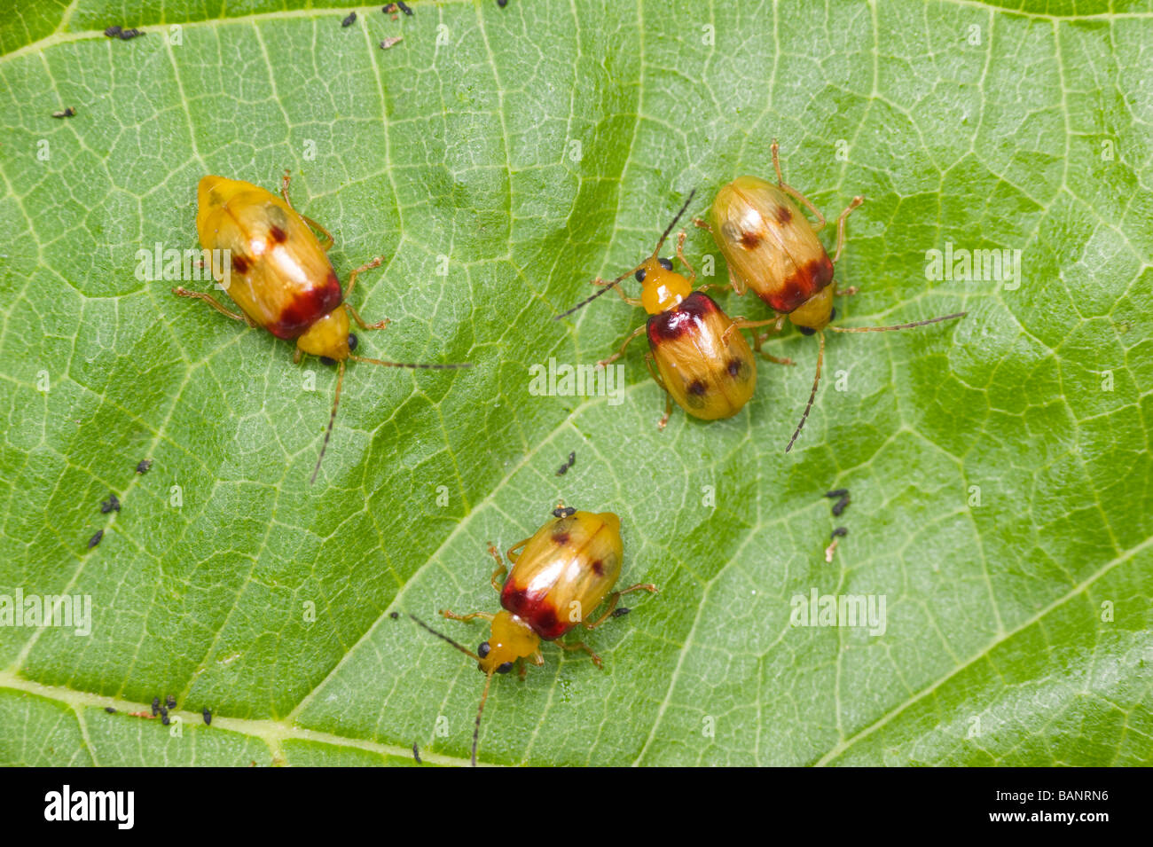 Redshouldered leaf beetle, or monolepta beetle, is an Australian insect pest - Stock Image