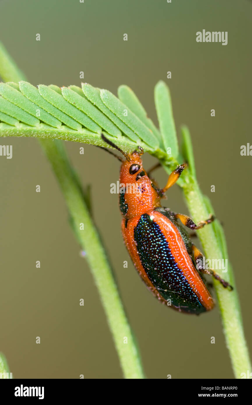 Acacia leaf beetles on silver wattle, Australia - Stock Image