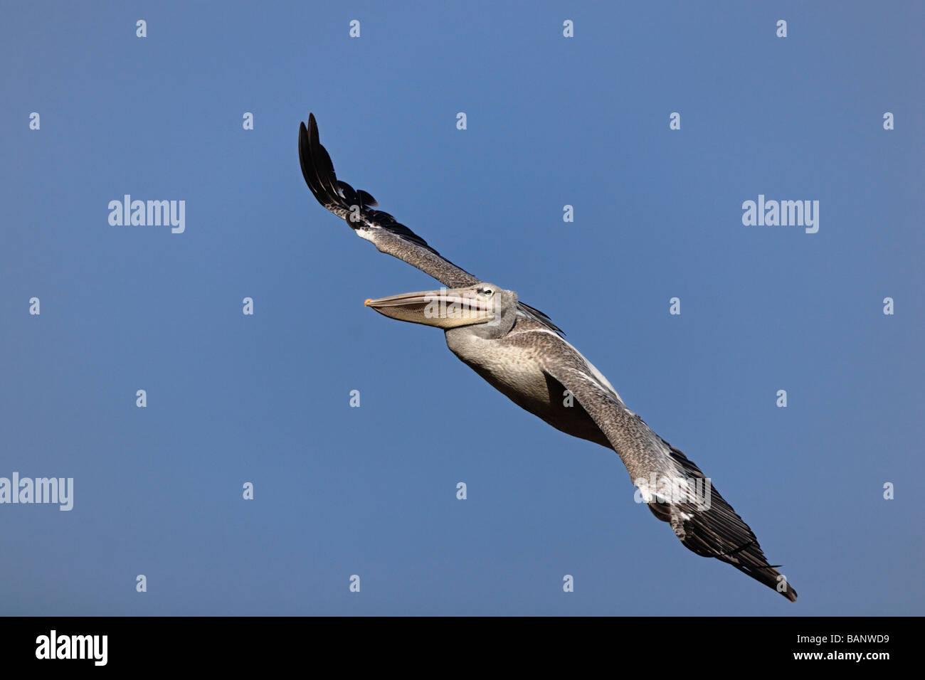 White Pelican in flight over Lake Manyara National Park Tanzania - Stock Image