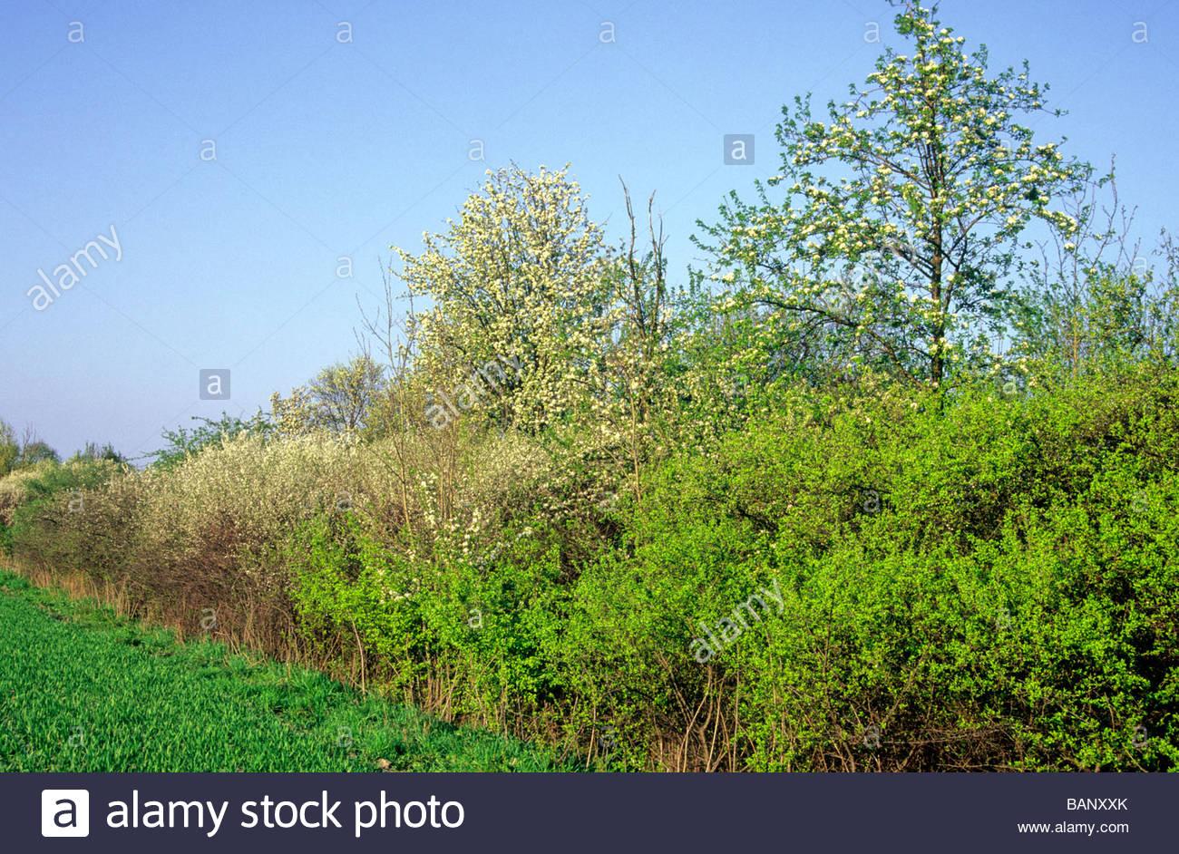 path with flowering hedge in spring Naunhof Germany Feldweg mit angrenzender Feldhecke in Blüte Naunhof - Stock Image