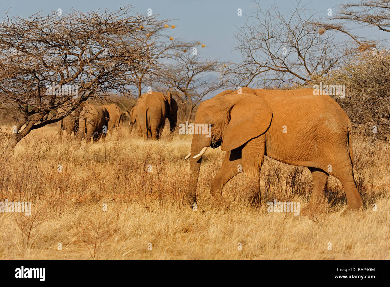 African elephant browsing on shrubs in the harsh environment of Samburu National Reserve Kenya - Stock Image