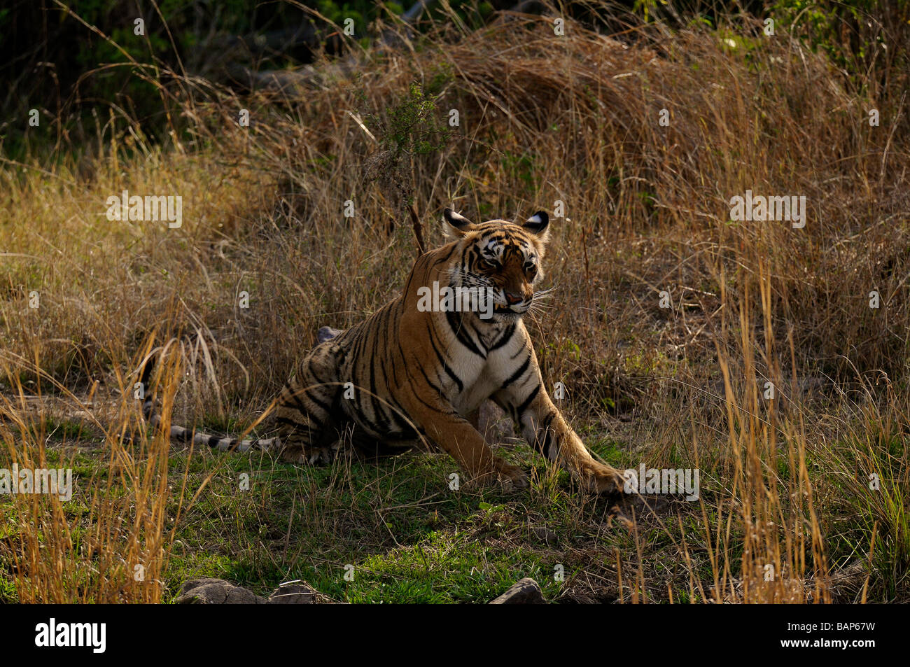 Wild Tiger in grass in the dry forests of Ranthambhore national park - Stock Image