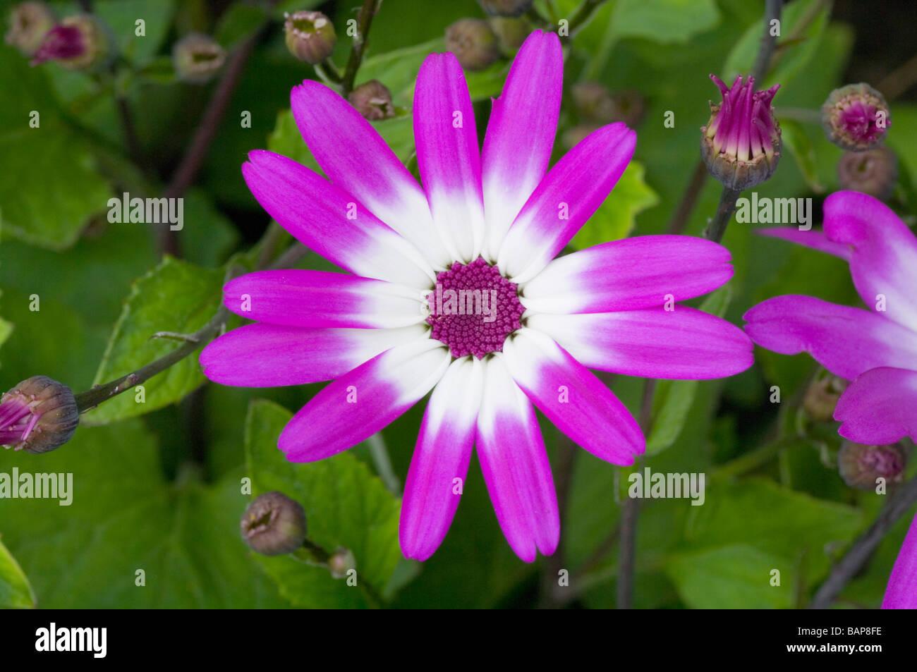 Sunsenereba Magenta Bicolor cineraria - Stock Image