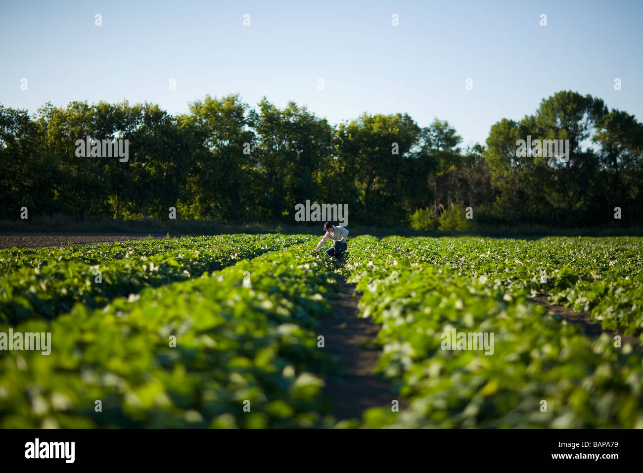 Farmer kneels in rows of cucumbers, Lumsden, Saskatchewan, Canada Stock Photo