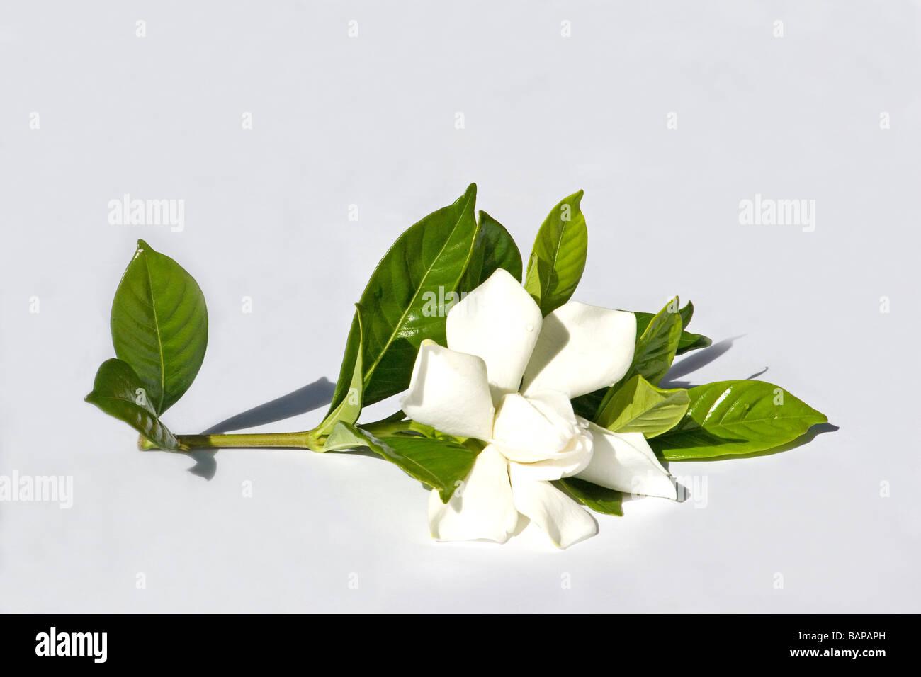 Cape jasmine - Stock Image