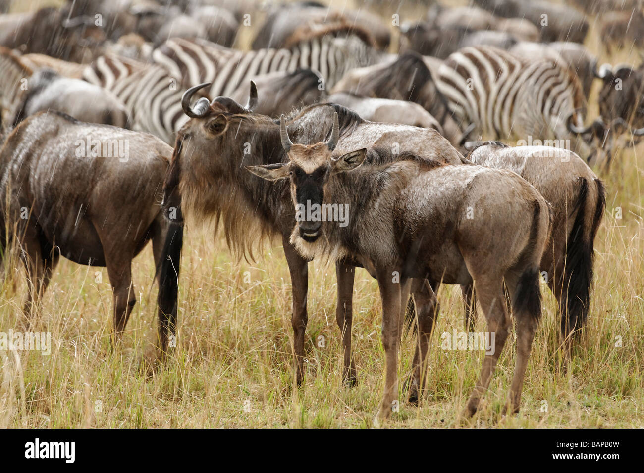 Wildebeest migrate by the thousands through the tall grasses of the Masai Mara National Reserve in Kenya. - Stock Image