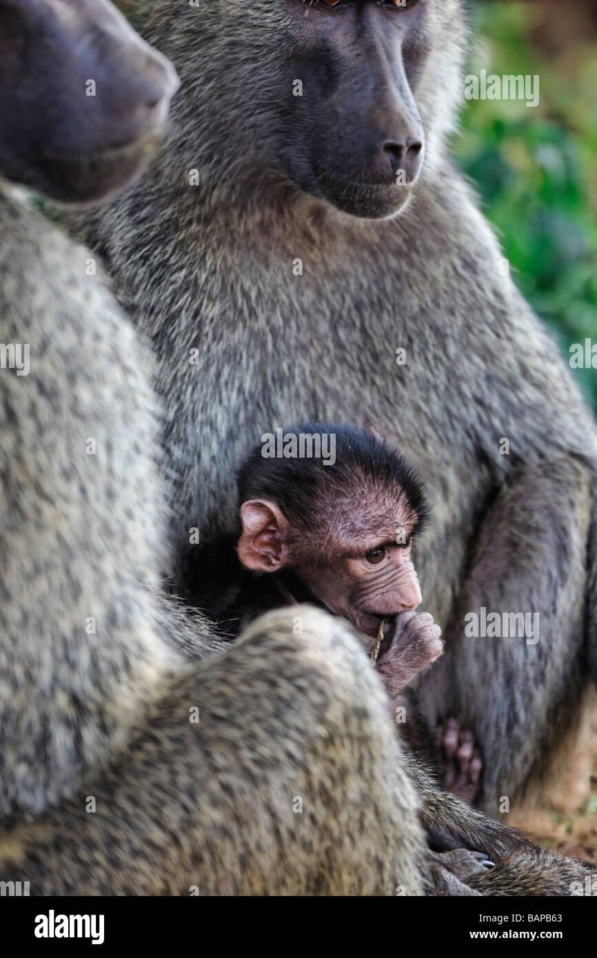 Baby Anubus baboon with mother in Lake Manyara National Park Tanzania - Stock Image