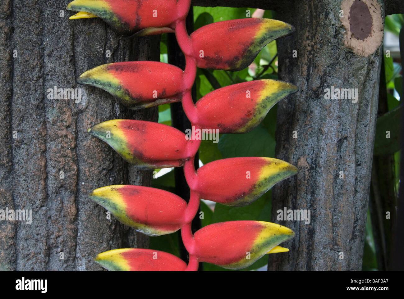 Heliconia pendula plant - Stock Image
