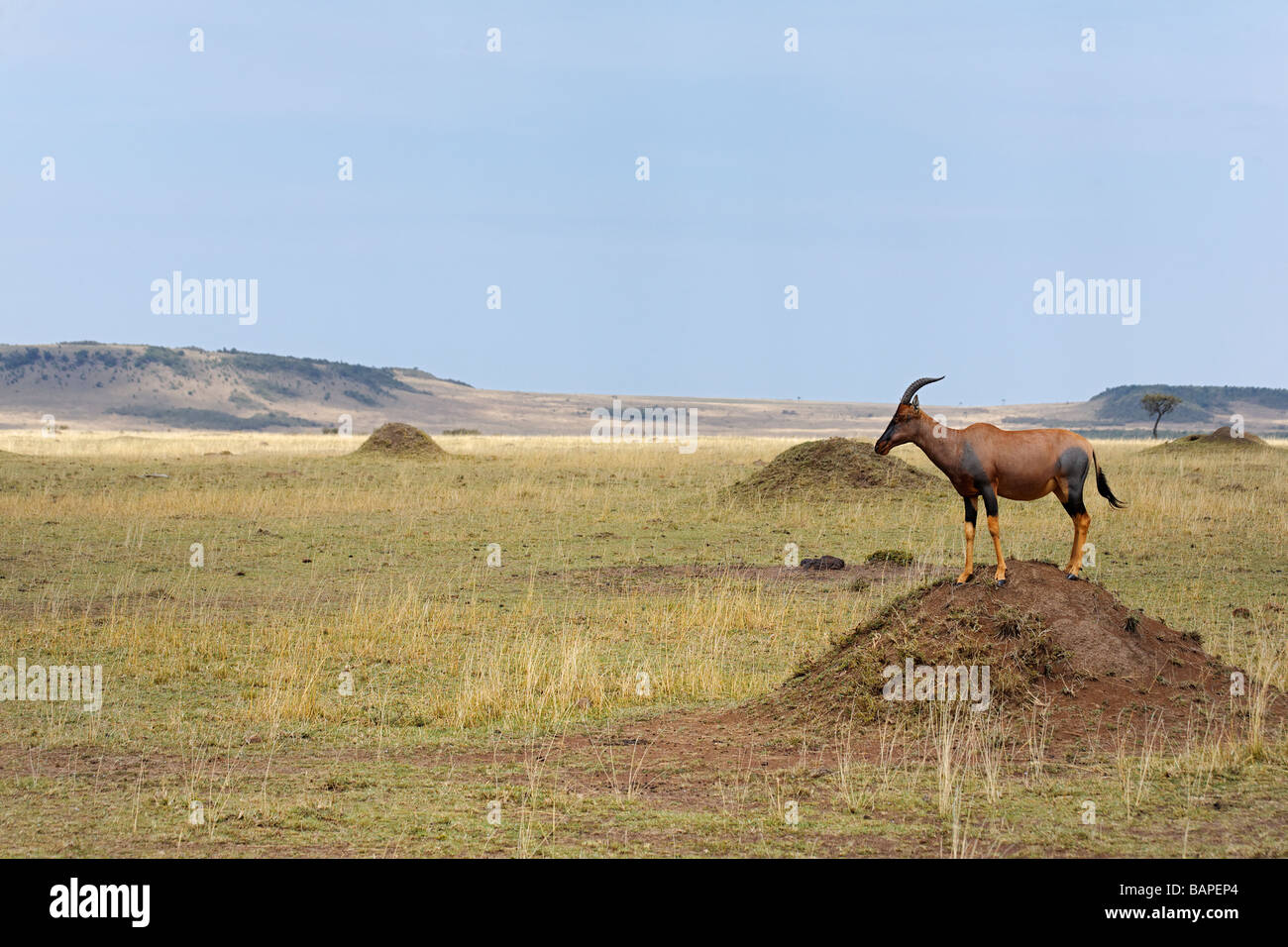 Topi on the look out atop a termite mound in the Masai Mara National Reserve Kenya. - Stock Image