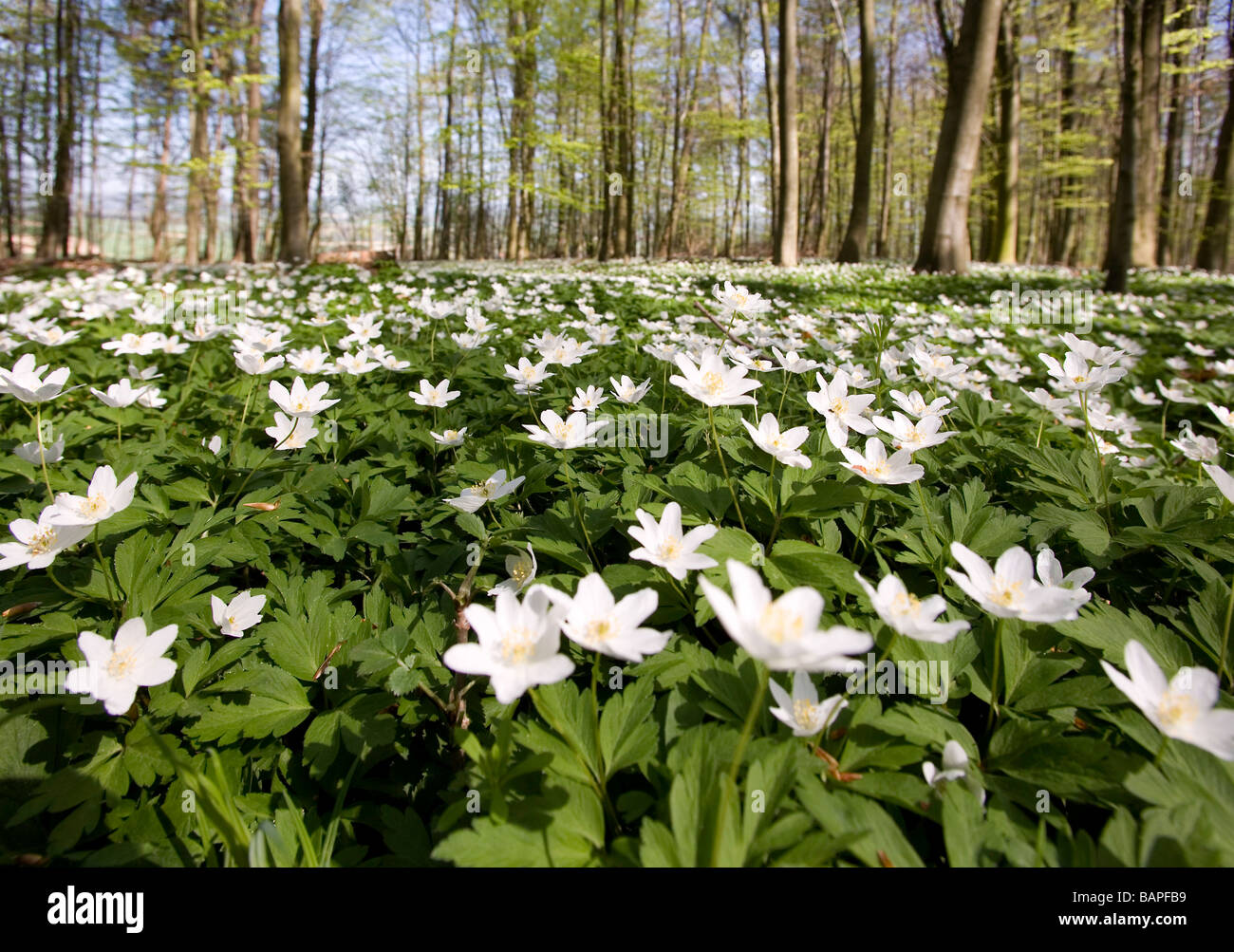 Countless wood anemones (Anemone nemorosa) in a deciduous forest in the spring Stock Photo