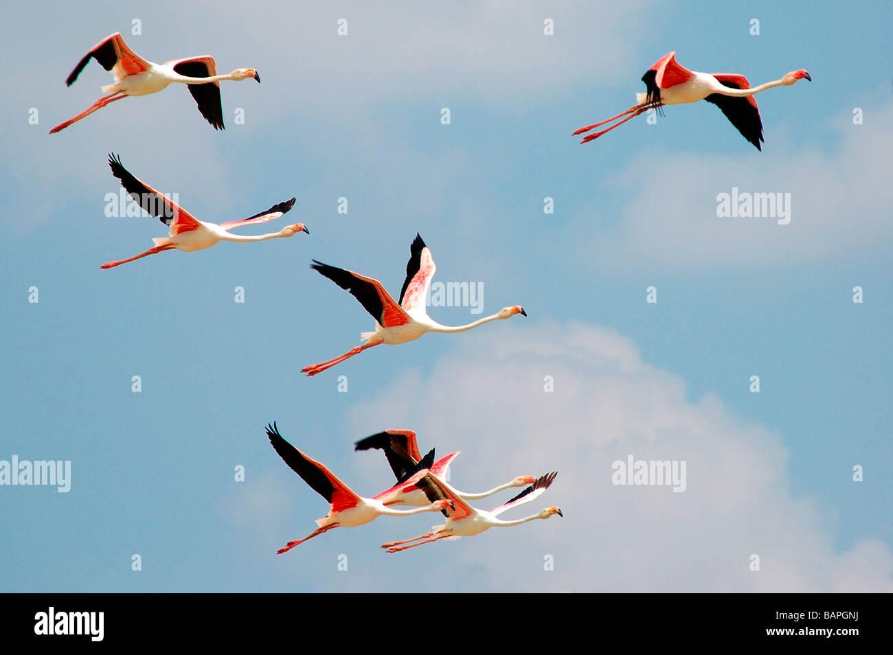 Flamingos in flight at koothankulam, Thirunelvelli District, Tamil Nadu - Stock Image