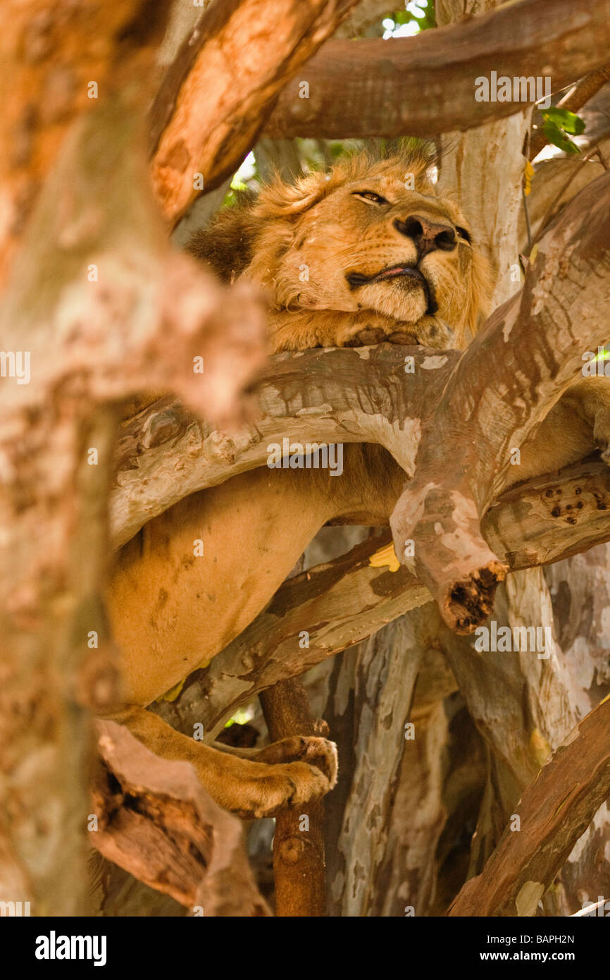 Adult male lion resting in the tree branches of Lake Manyara National Park Tanzania - Stock Image