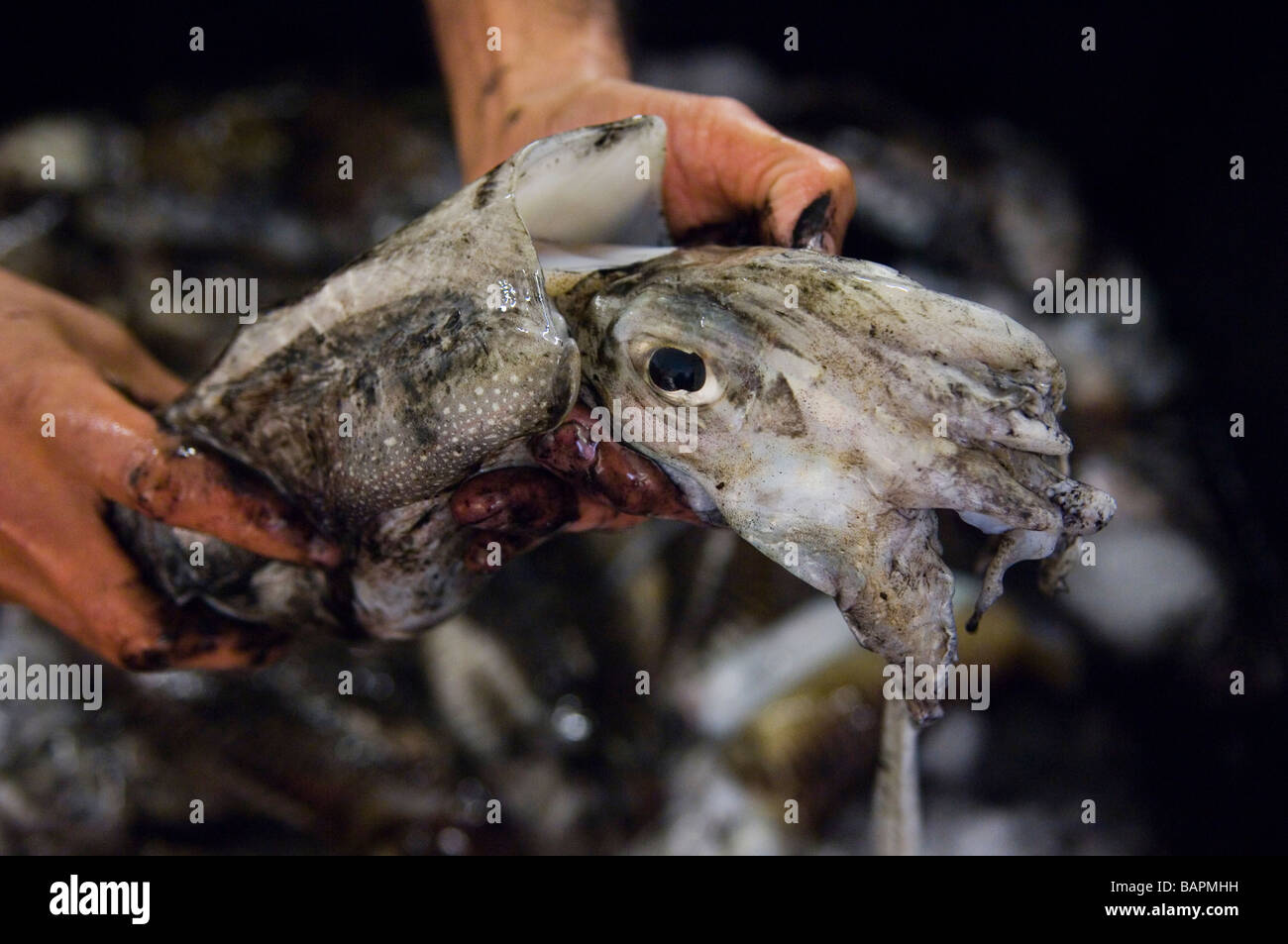 Handling a 'freshly caught' Cuttlefish at Hastings fish market. East Sussex. UK - Stock Image