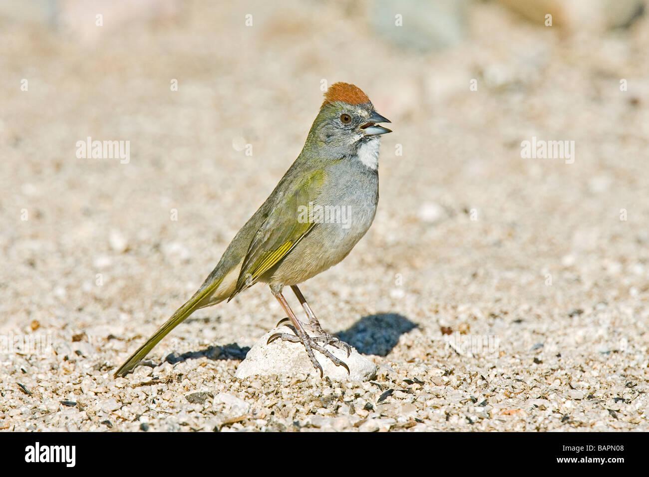Green-tailed Towhee Pipilo chlorurus Tucson Pima County ARIZONA United States 29 April Adult Emberizidae - Stock Image