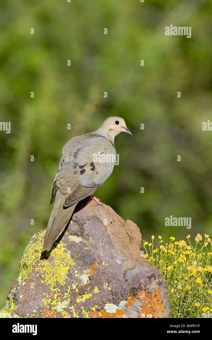 Mourning Dove Zenaida macoura Tucson ARIZONA United States 29 April Adult Columbidae - Stock Image
