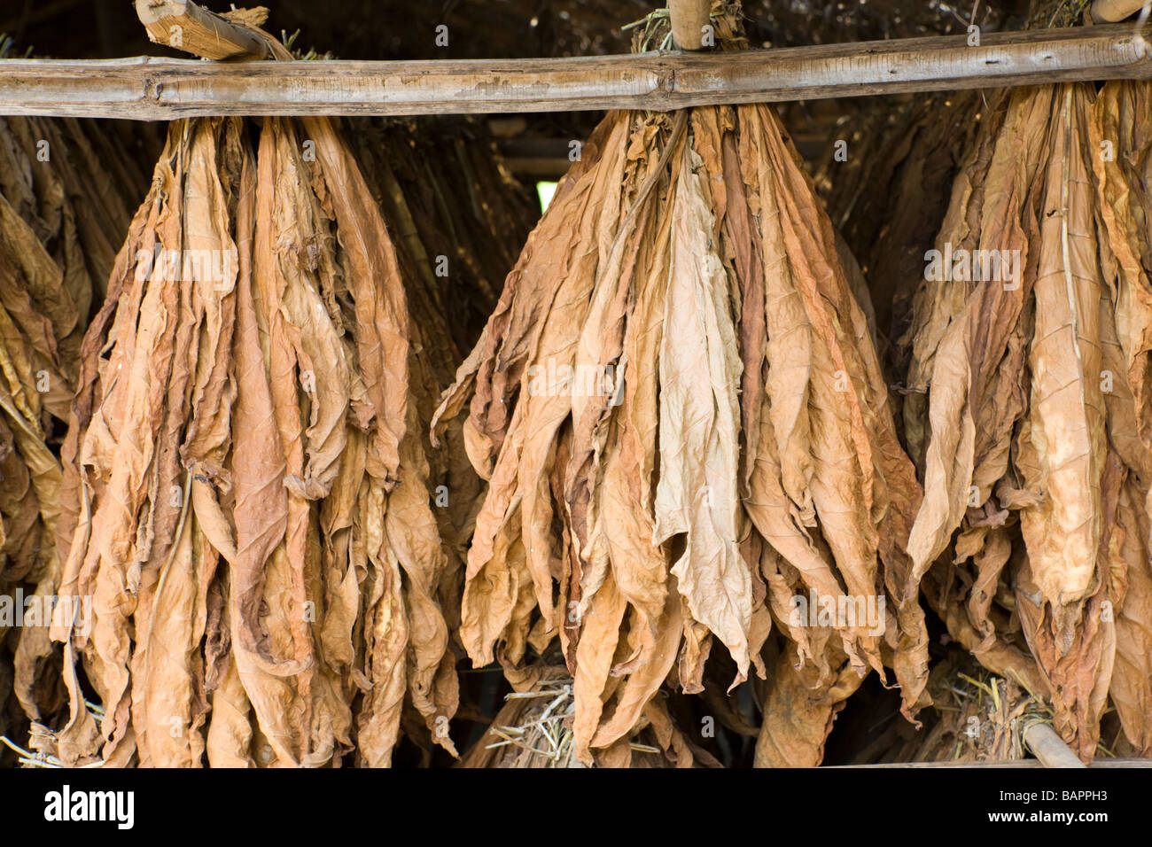 Tobacco drying in the village of Nyombe, Malawi, Africa - Stock Image