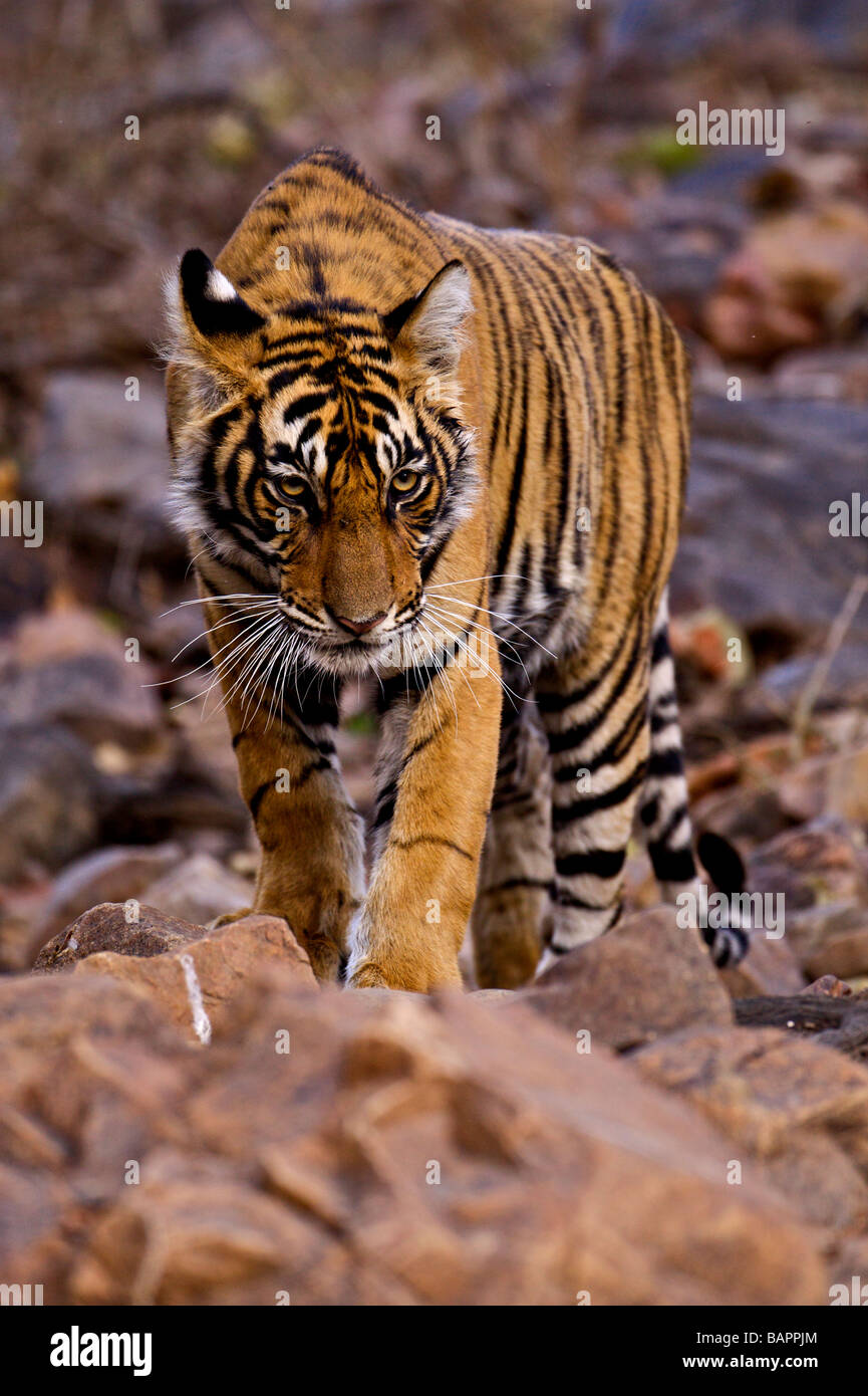 Young Male Bengal Tiger Walking Stock Photos & Young Male