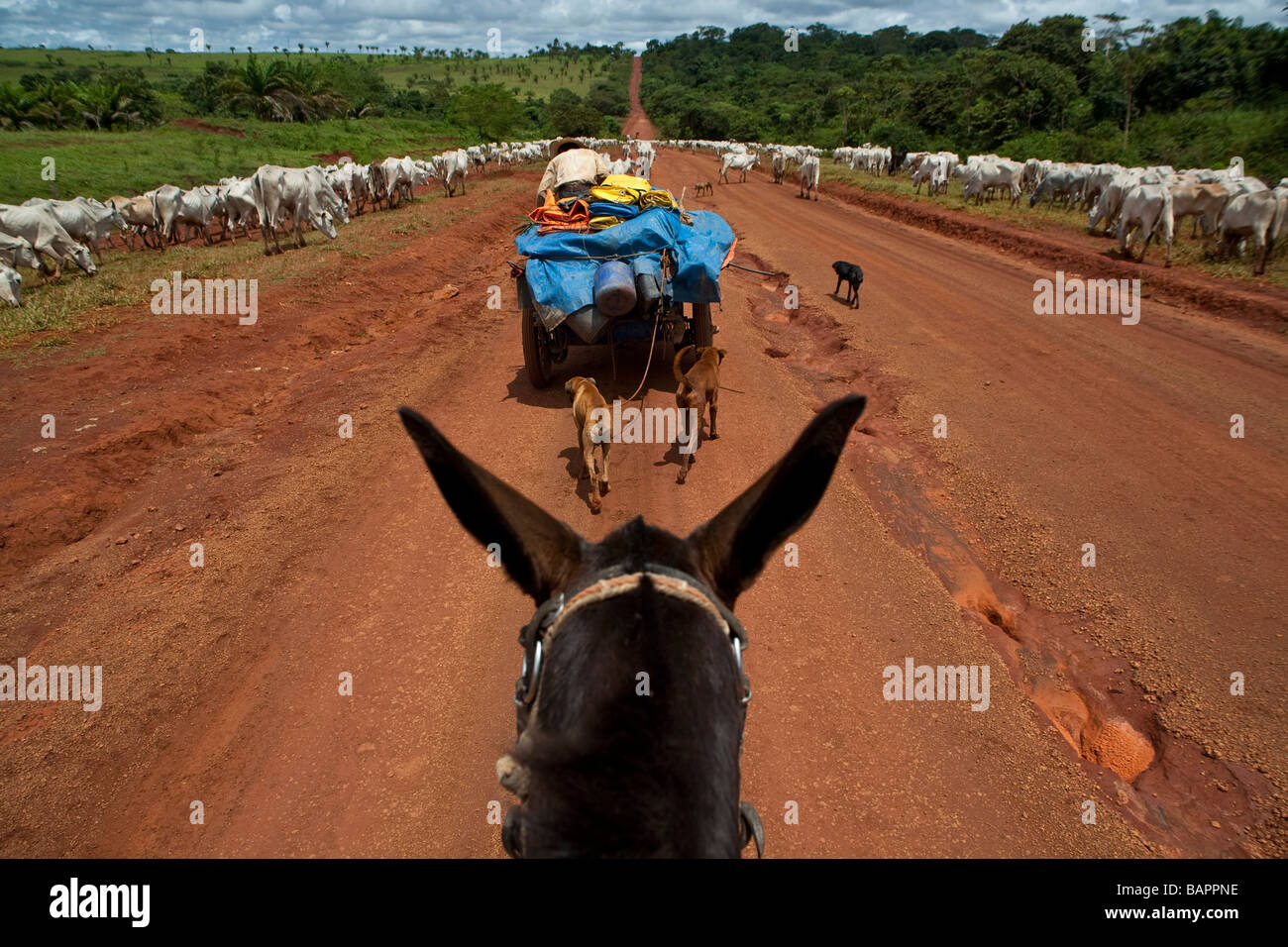 Herd of cattle BR 163 road at South Para State Amazon Brazil Stock Photo