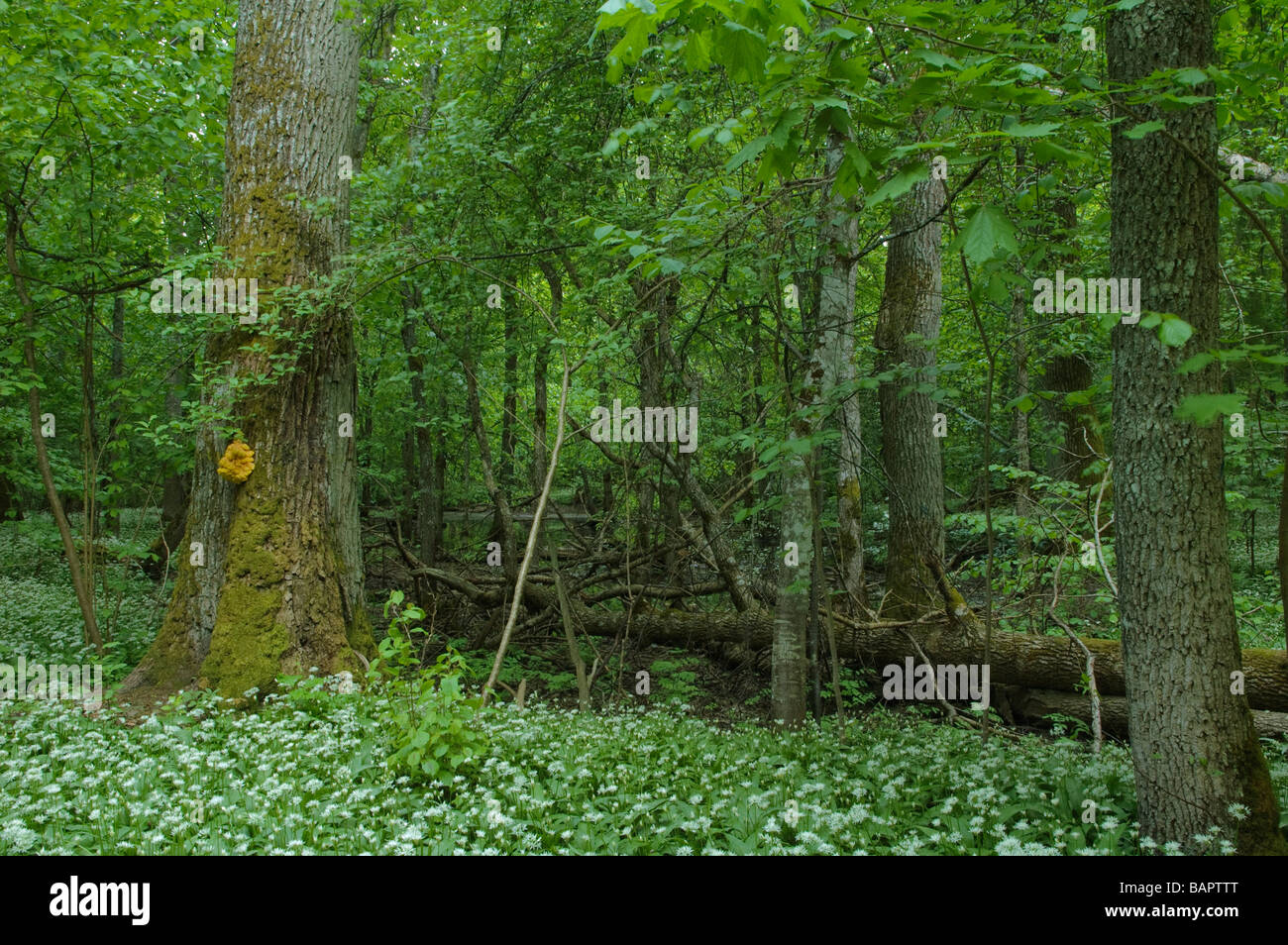 Habitat od European concern: Riparian mixed forest - Stock Image